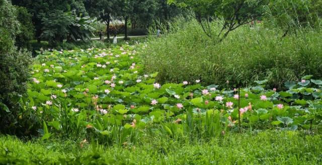 正值盛花期,市民在海珠湿地观赏菖蒲和荷花(6月3日摄)。经过科学治理,生物多样性显著提升,海珠湿地维管束植物从379种增加到630种。