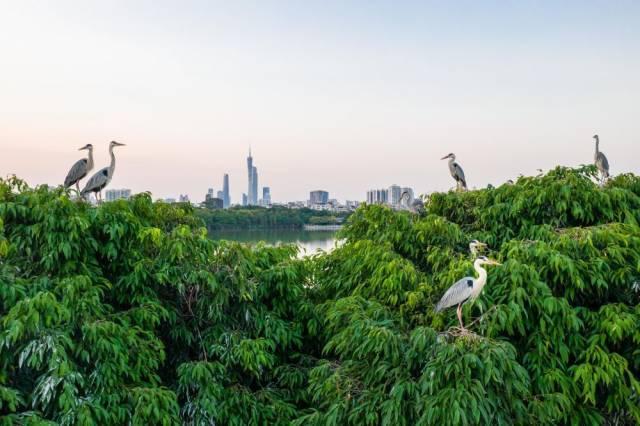 海珠湿地海珠湖鸟岛上的苍鹭(4月27日无人机照片)。经过科学治理,生物多样性显著提升,海珠湿地鸟类从72种增加到177种,鱼类从46种增加到58种,昆虫种类从66种提升至285种。新华社发(谢惠强摄)