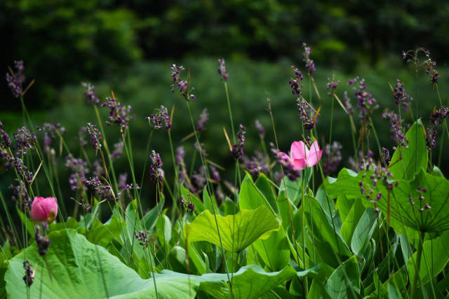 海珠湿地盛开的菖蒲和荷花(6月3日摄)。经过科学治理,生物多样性显著提升,海珠湿地维管束植物从379种增加到630种。