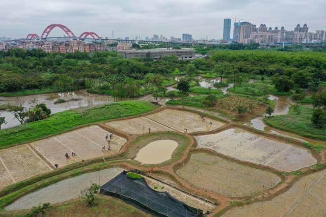 海珠湿地稻田与城市天际线遥相呼应(3月30日无人机照片)。海珠湿地有一片10亩稻田,市民可来此体验农耕文化。稻田生态系统为海珠湿地的各类动物营造了栖息地,创造出良好的生态效益。