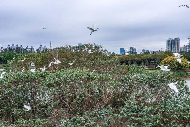 海珠湿地海珠湖鸟岛上的白鹭(1月25日无人机照片)。经过科学治理,生物多样性显著提升,海珠湿地鸟类从72种增加到177种,鱼类从46种增加到58种,昆虫种类从66种提升至285种。 新华社发(谢惠强摄)
