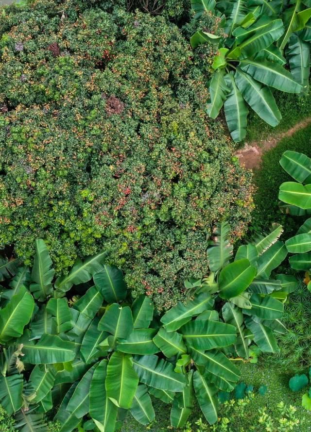 海珠湿地岭南佳果荔枝和香蕉果树生长茂盛(6月3日无人机照片)。海珠湿地传承万亩果园岭南基塘农业文化遗产,恢复6平方公里垛基果林挂果能力,果树树种从原来10余种增加到200多个品种。