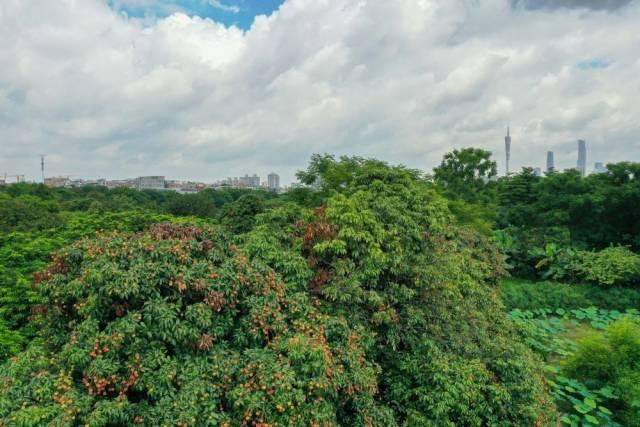 海珠湿地荔枝树挂满果实(6月3日无人机照片)。海珠湿地传承万亩果园岭南基塘农业文化遗产,恢复6平方公里垛基果林挂果能力,果树树种从原来10余种增加到200多个品种。