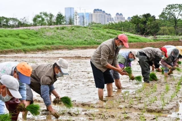 海珠湿地员工在稻田劳作(3月30日摄)。海珠湿地有一片10亩稻田,市民可来此体验农耕文化,今年受疫情影响,市民无法亲身体验插秧,这项工作便由湿地员工完成。稻田生态系统为海珠湿地的各类动物营造了栖息地,创造出良好的生态效益。新华社记者刘大伟摄